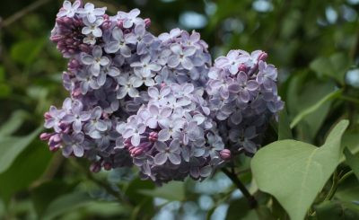 Fliederduft pastell lila