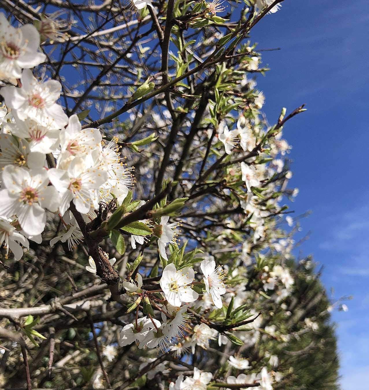 Erste Obstblüten 2020