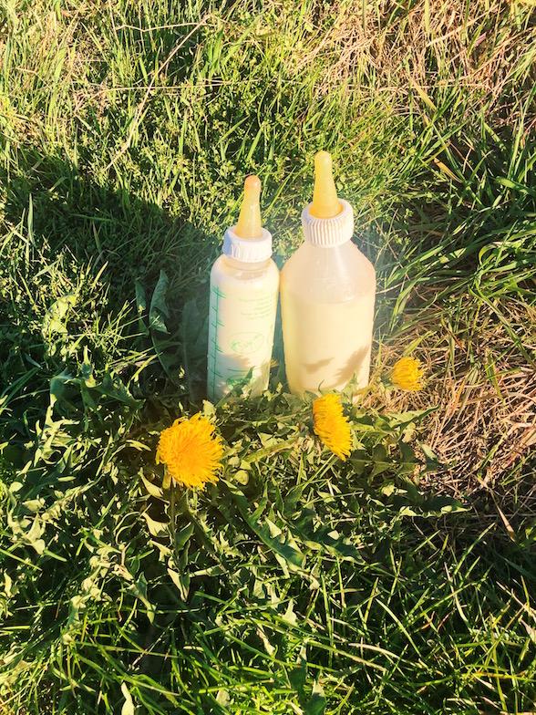 Milchflaschen auf der Loewenzahnwiese