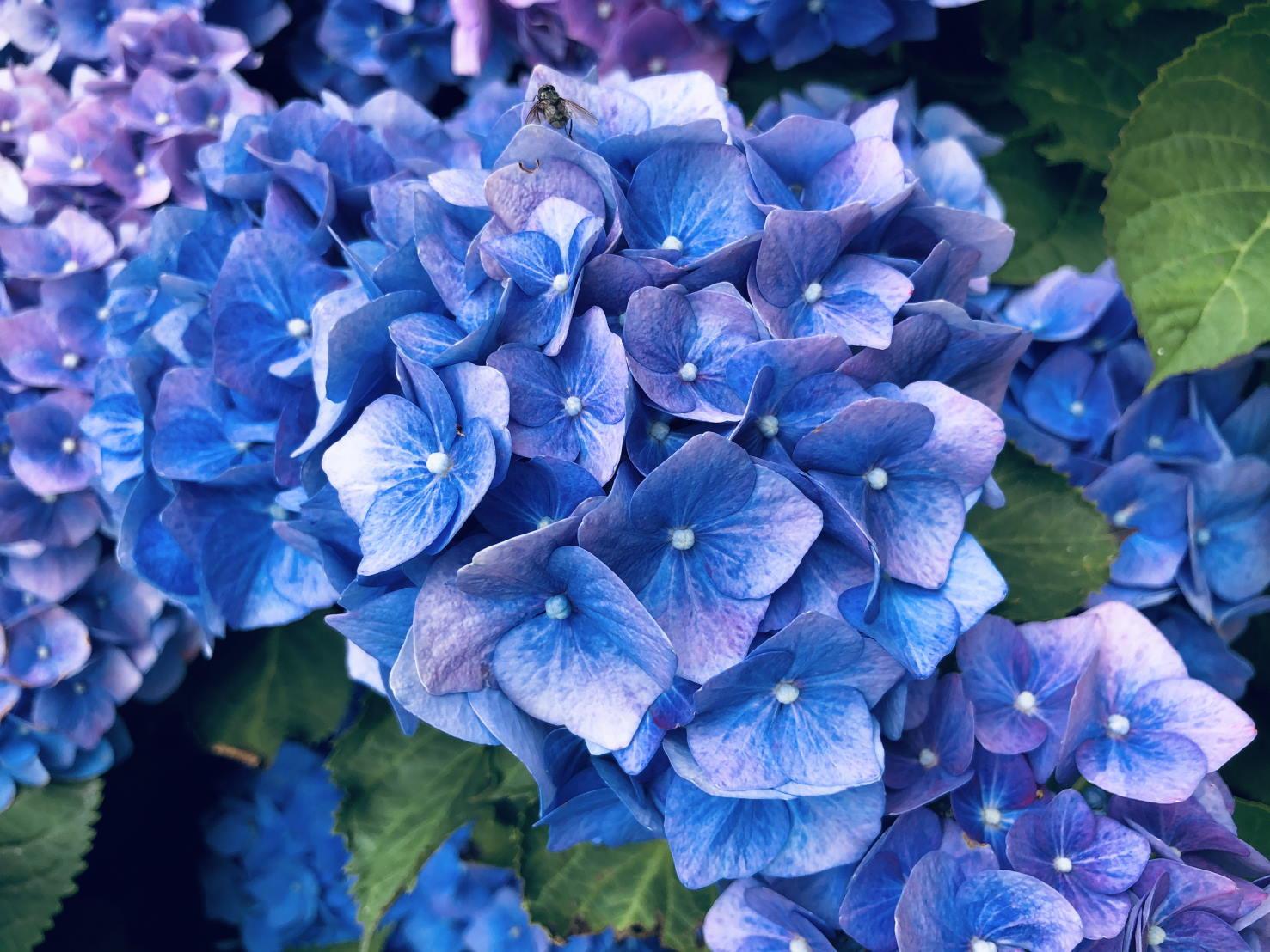 blaue hortensienbluete