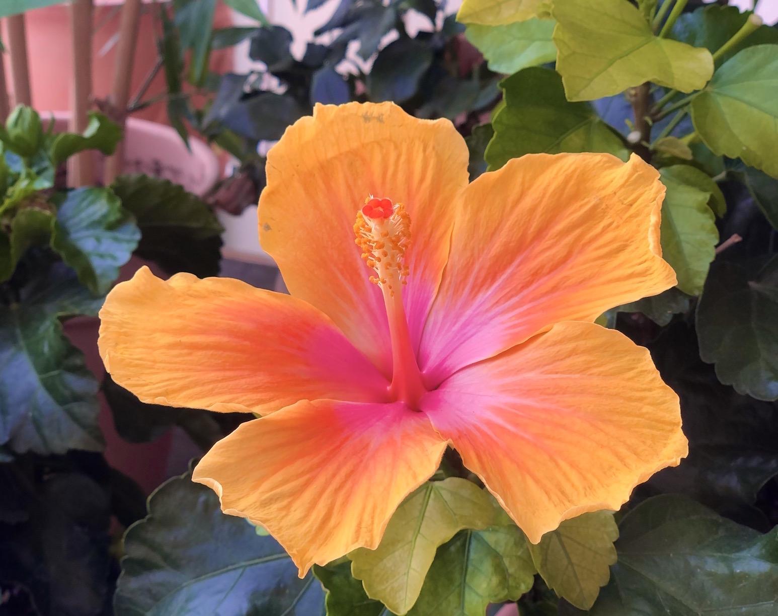 hibiskusbluete orange und pink